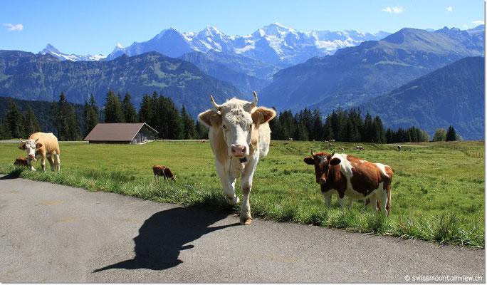 auf neugierige Kühe.