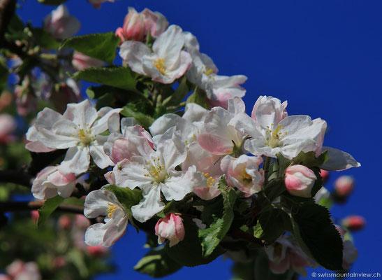 Wunderschöne Apfelblühte im April am Bodensee