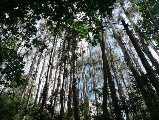 Ganze Wälder davon