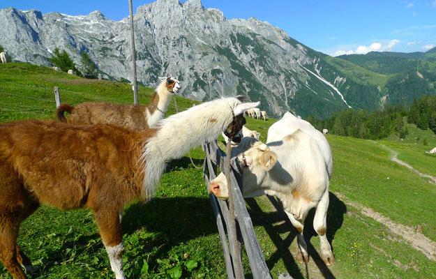 23.6.14, Don Camillo begrüßt morgens die Kühe