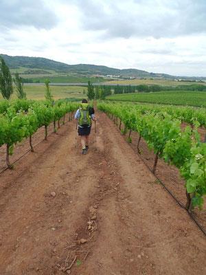 Weinreben in Navarra