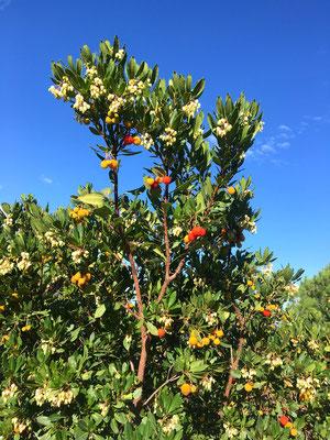 Erdbeerbaum