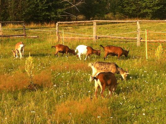 Ziegenkoppel mit unseren 6 Ziegen