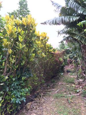 島の路地にある農場。タビビトノキはあくまで防風林でコンシンネやクロトンを地植えで生産されてます。