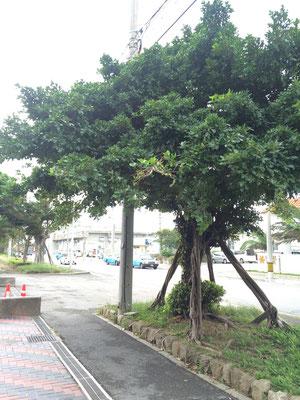 街路樹はガジュマル・・!