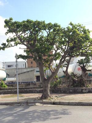 街路樹がガジュマルですが、形が全部違う!(当然ですが)