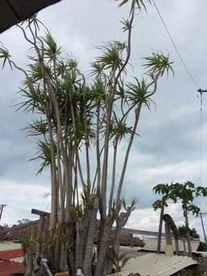 ドラセナ・コンシンネも庭木として植わってました!