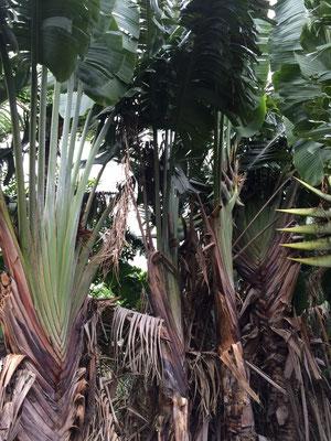 鬱蒼と茂るタビビトノキ。農場に入る前に生産者さんが下葉を落として掃除していてくれました。
