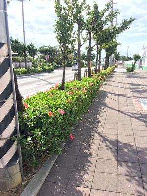 生け垣に花が咲いてる!関東ではツツジとかですが・・