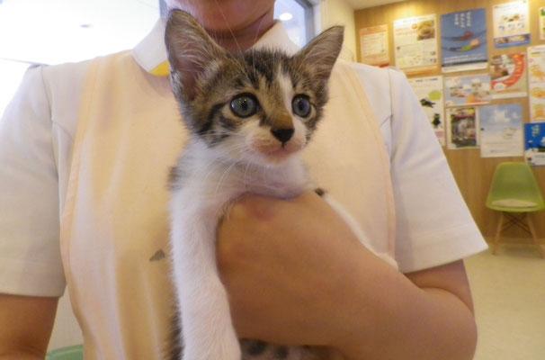 Mix猫の『アオ』君。今はもうすっかり大きくなりました。名前もとってもおしゃれだね