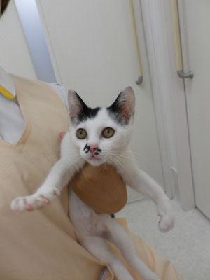 Mix猫の『シノ』ちゃん。東雲出身のためシノちゃんに!ご家族の皆さんがメロメロです