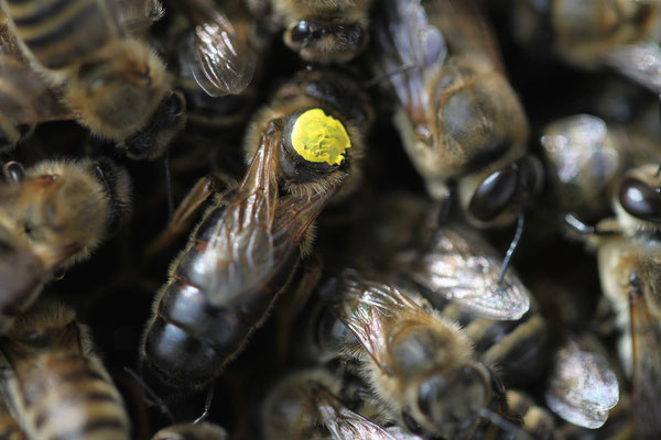 Bienenköniging