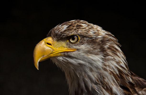 Weißkopfseeadler II