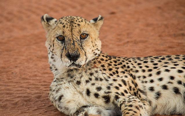 Geparden der Lodge Bagatelle