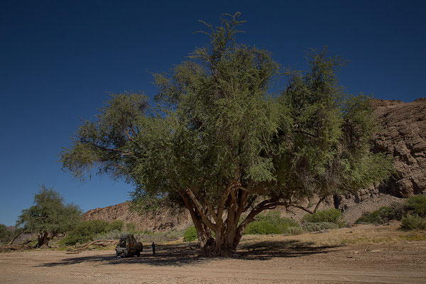 Mittagsrast unter einem Anabaum