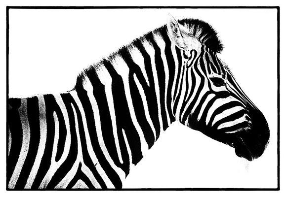 Zebra auf Wolwedans