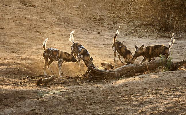 Wildhunde 1