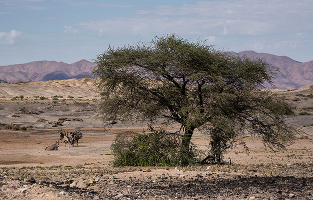 Oryxherde nahe dem Bahnhof Jakalswater