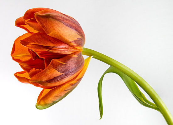 die Tulpe