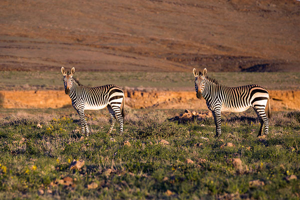 Zebras an der C14