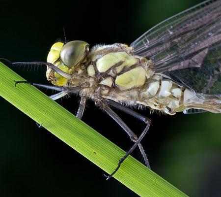 Die ersten Minuten im Leben einer Libelle III