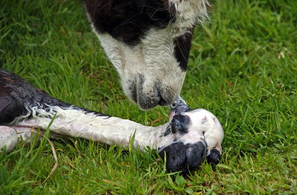 Die Geburt eines Lamas - die ersten Sekunden I