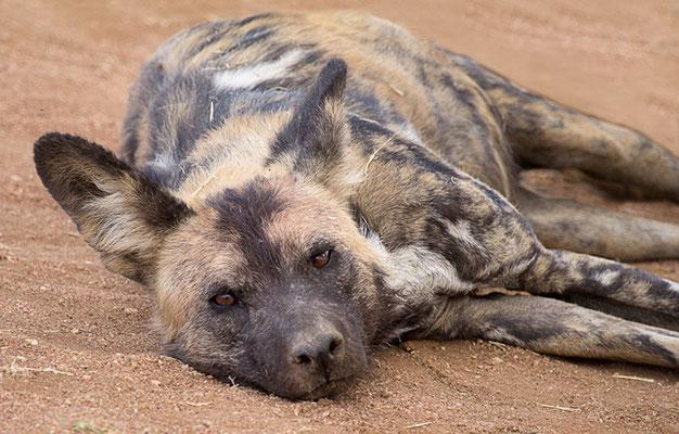 Wildhunde 3