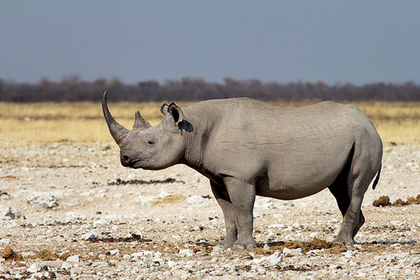 Nashorn am Wasserloch Gemsbokvlakte