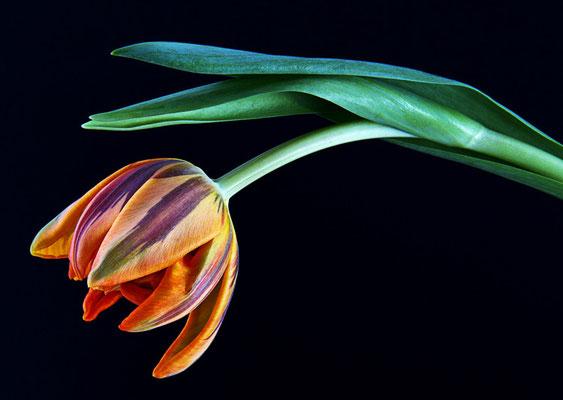 wenn Tulpen Trauer tragen