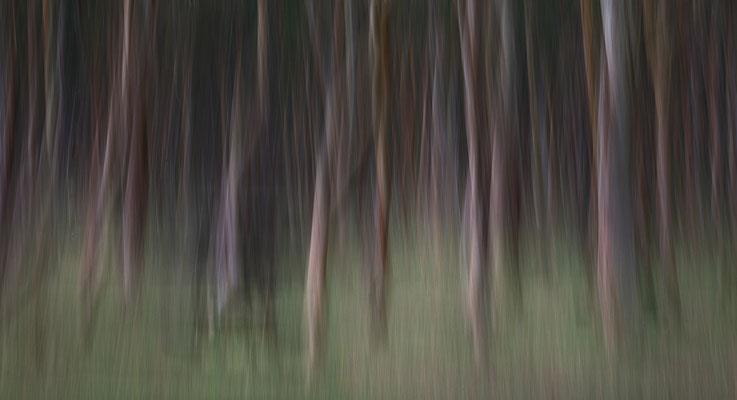 Playa de Rodiles, Eukalyptusbäume