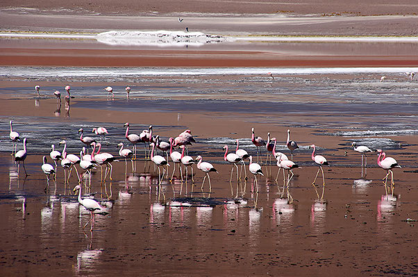Flamingo an der Laguna Colorada VI