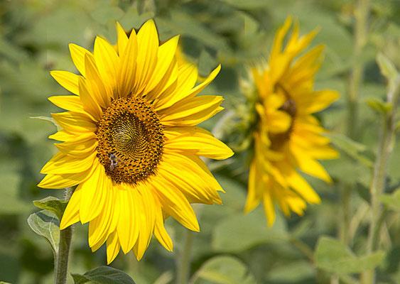 Sonnenblumenbesucher