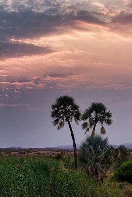 Die Palmen der Palmwag-Lodge 1