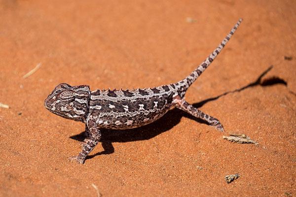 Namaqua Chamäleon