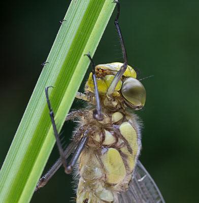 Die ersten Minuten im Leben einer Libelle II