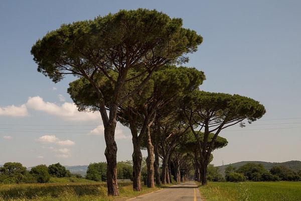 Pinienallee vor Roccastrada
