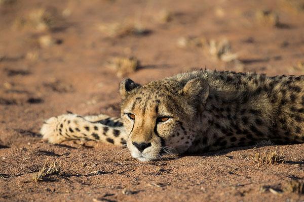 Kanaan Gepard