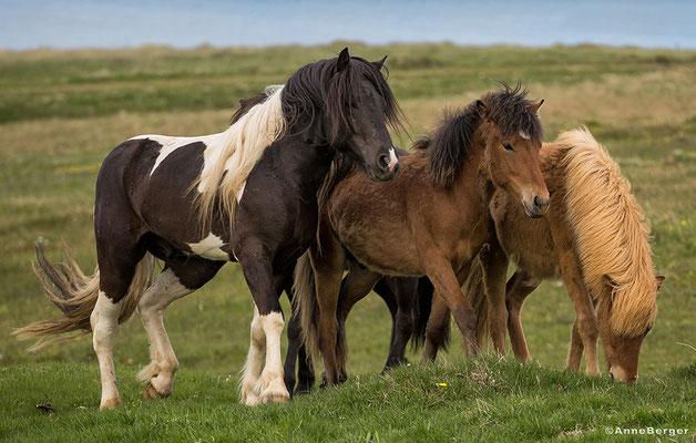Islandpferde auf der HI Tjörnes nahe Husavik