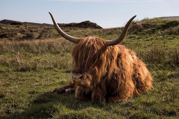 Hochlandrind, Isle of Skye