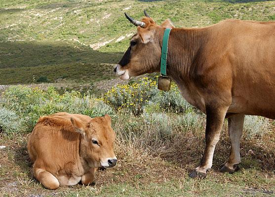 Sardische Kühe