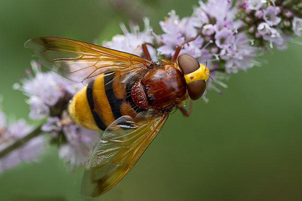 Hornissenschwebfliege I