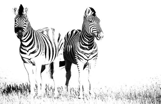 Zebras auf Wolwedans