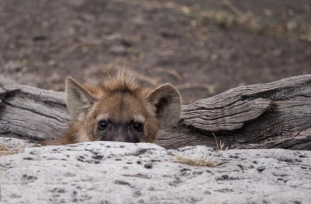 Gefleckte Hyäne vor ihrem Bau