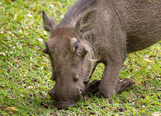 Hofknicks bei Warzenschweins
