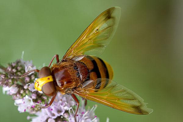 Hornissenschwebfliege II