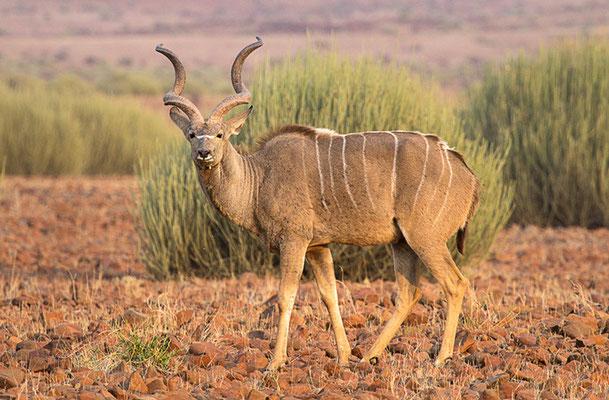 Kudu 2