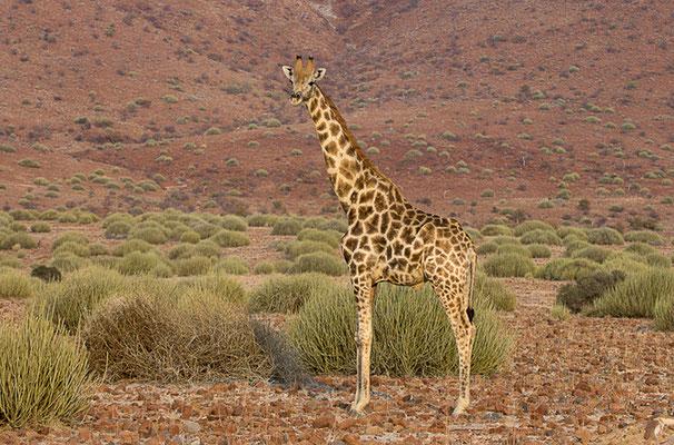 Giraffe im Kaokoveld