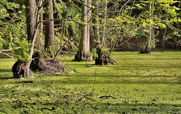 Sumpflandschaften auf Rügen I
