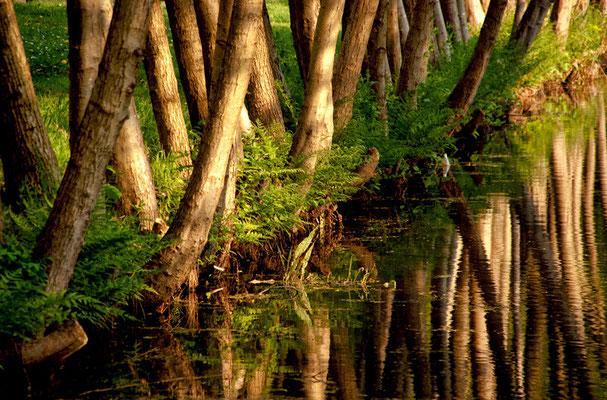 als wären es Mangroven