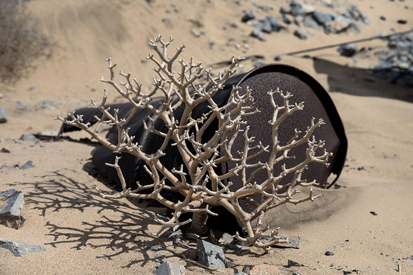 Outpost zwischen Grillenthal und Pomona; Namibia Bonsai (Othonna furcata)